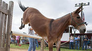 Howard County Fair highlights the mind of the mule