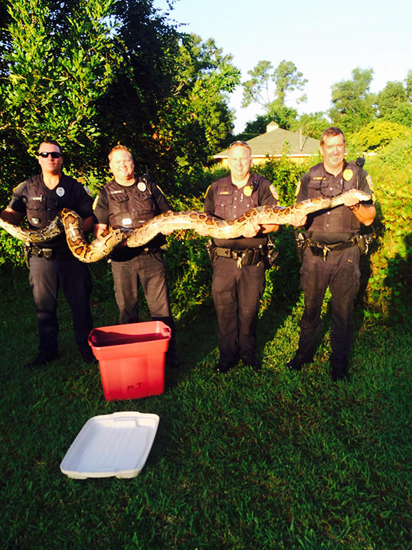 Police in Port St. Lucie captured a 12-foot, 120-pound Burmese Python Friday morning.