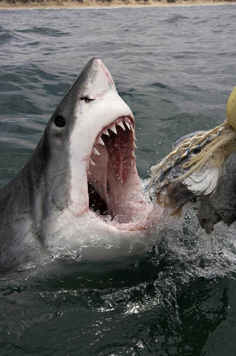 The Great White Shark can be found visiting Virginia waters.