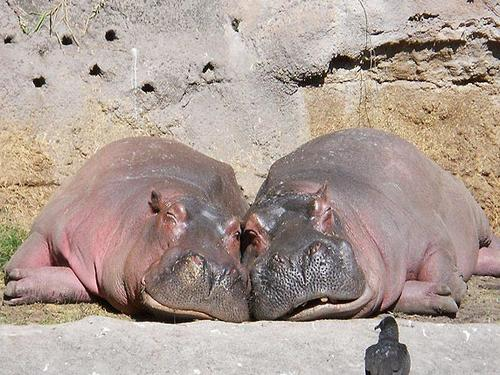 """In celebration of Valentine's Day, these loving hippos show us what it's all about. This photo was taken at Disney's Animal Kingdom, right here in Orlando, by Nicole Gonzalez who was visiting for a family reunion. """"Love is grand for all species!"""" says Nicole."""