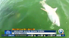 WATCH: Goliath Grouper eats shark in one bite [Video]
