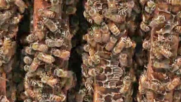 California Drought Stings Honeybees, Beekeepers