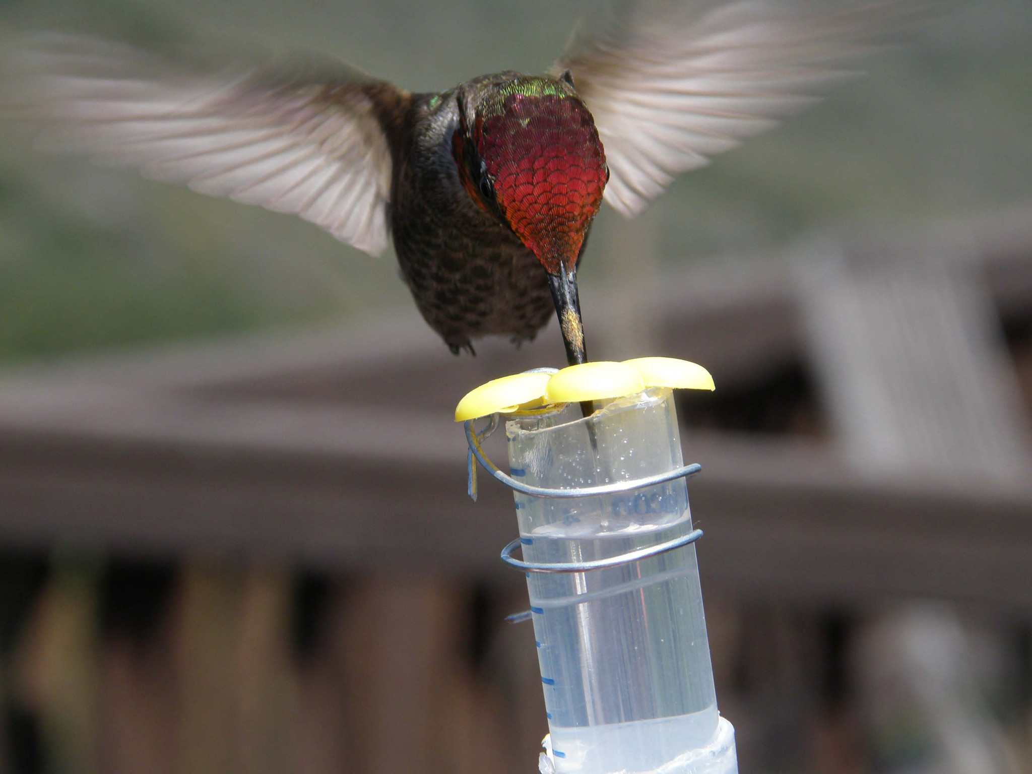 Hummingbirds reprogrammed umami receptor to taste sweet nectar