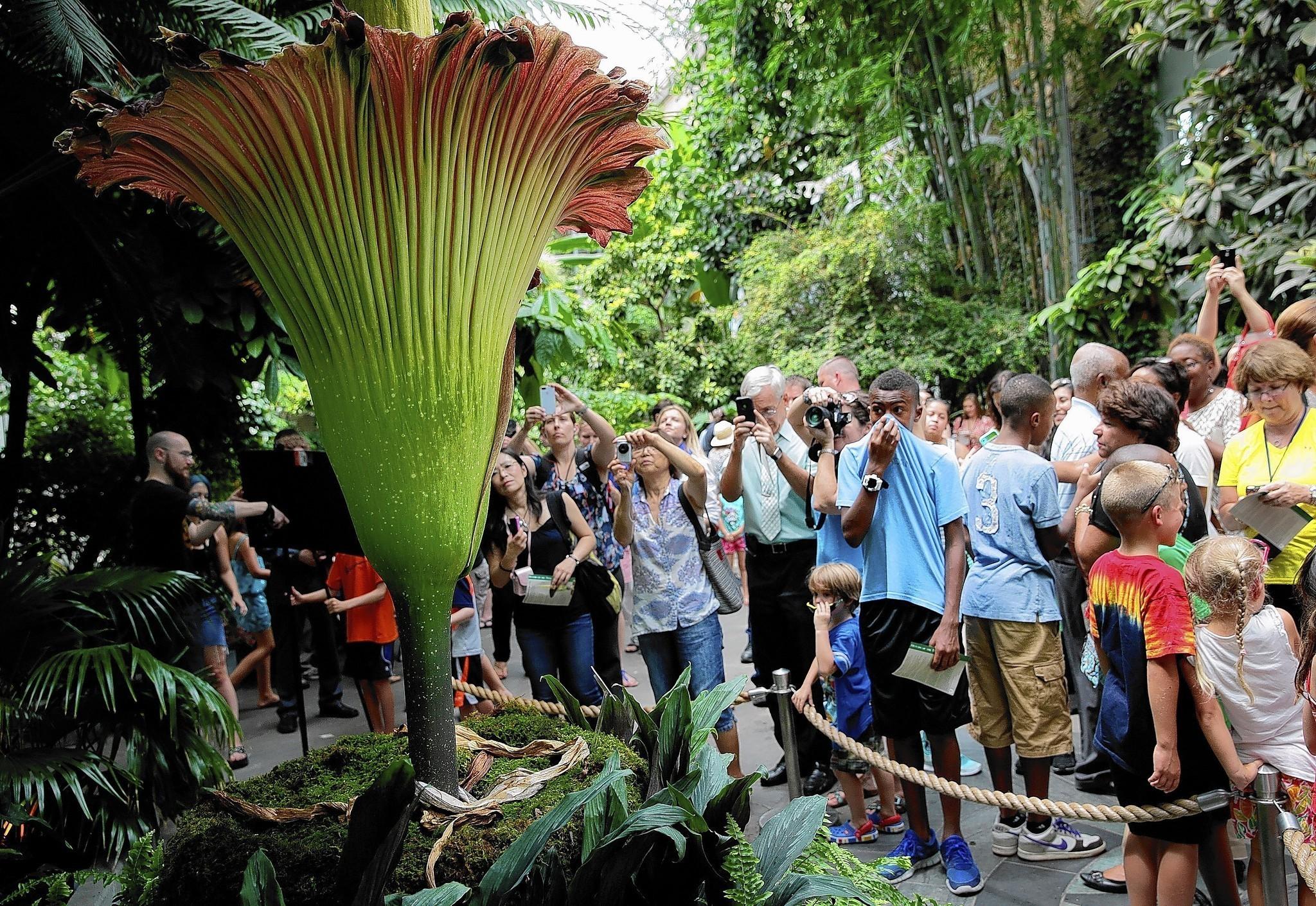 Chicago Botanic Garden To Get 39 Corpse Flower 39 Chicago Tribune