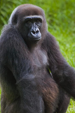 Pele, a 12-year-old western gorilla, is expected to give birth to a baby at Busch Gardens in November 2014.