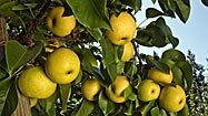 Asian pears: How to choose, store and prepare - LA
