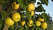 Asian pears: How to choose, store and prepare