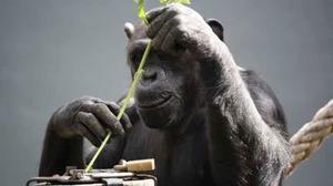 Experimental drug is combating hepatitis C in chimps, researchers say