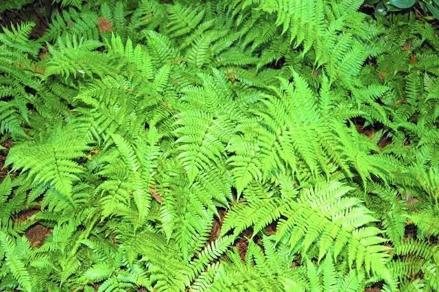 Autumn fern combines well with other shade-loving perennials.