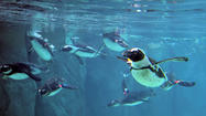 Maryland Zoo's penguins get a new home