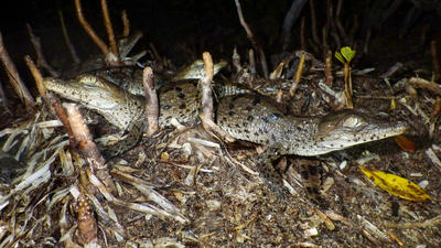 Record number of crocodiles hatch in Everglades