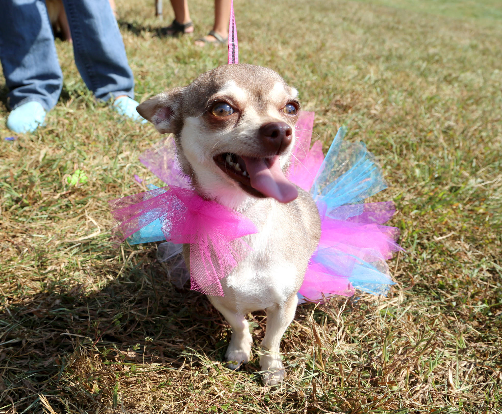 Princess sits pretty in her tutu at the Baltimore Humane Society's 2013 Dogfest.
