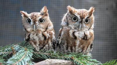 Rescued baby screech owls ready to leave the nest at Phoenix Wildlife Center