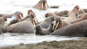 Related story: 35,000 walruses congregate on Alaska shore, face dangers as sea ice dwindles