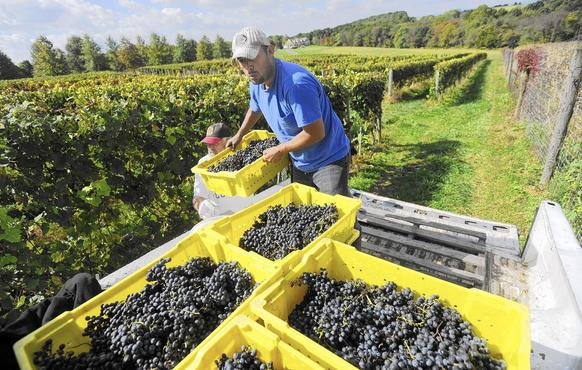 Laurencio Hernandez and Bruce Magladry, left, gather grapes picked that morning at Elk Run Vineyard and Winery in Mount Airy Wednesday, Oct. 8, 2014.
