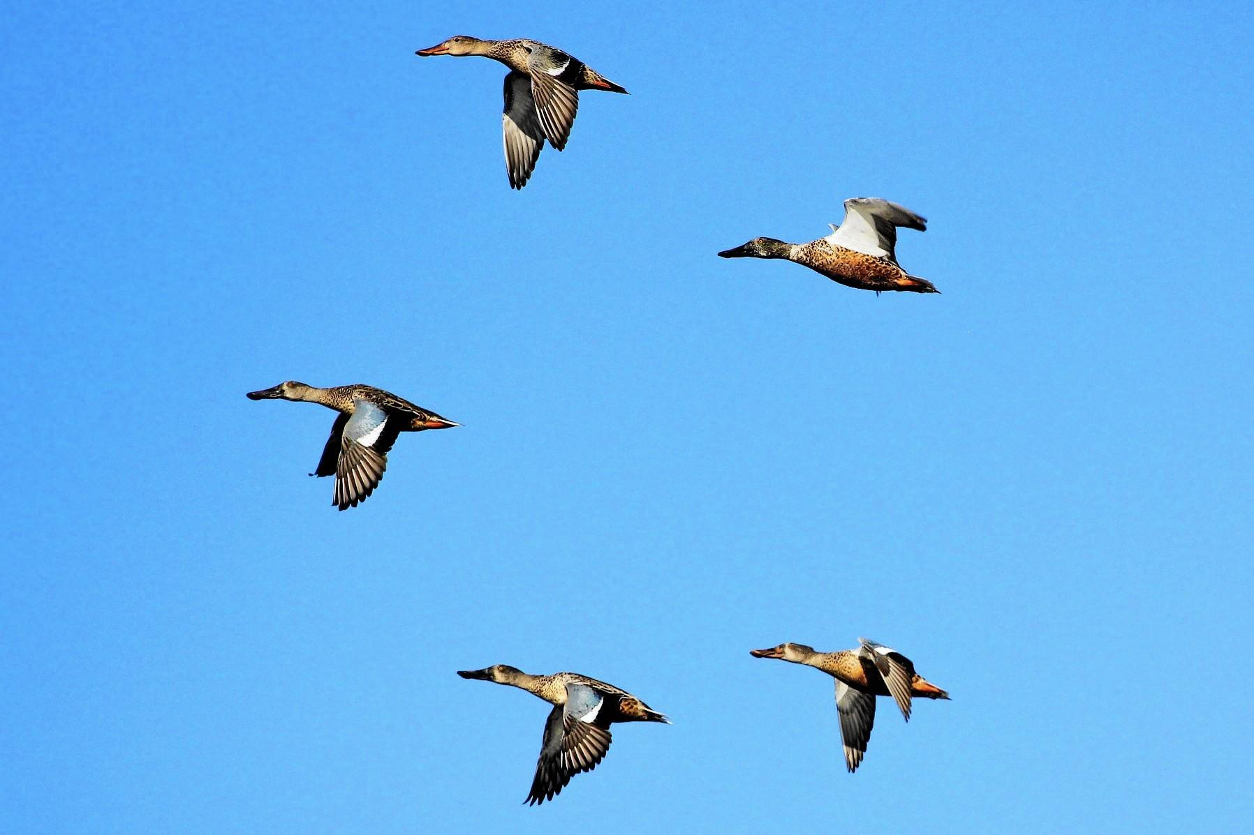 Northern Shovelers fly over Craney Island.