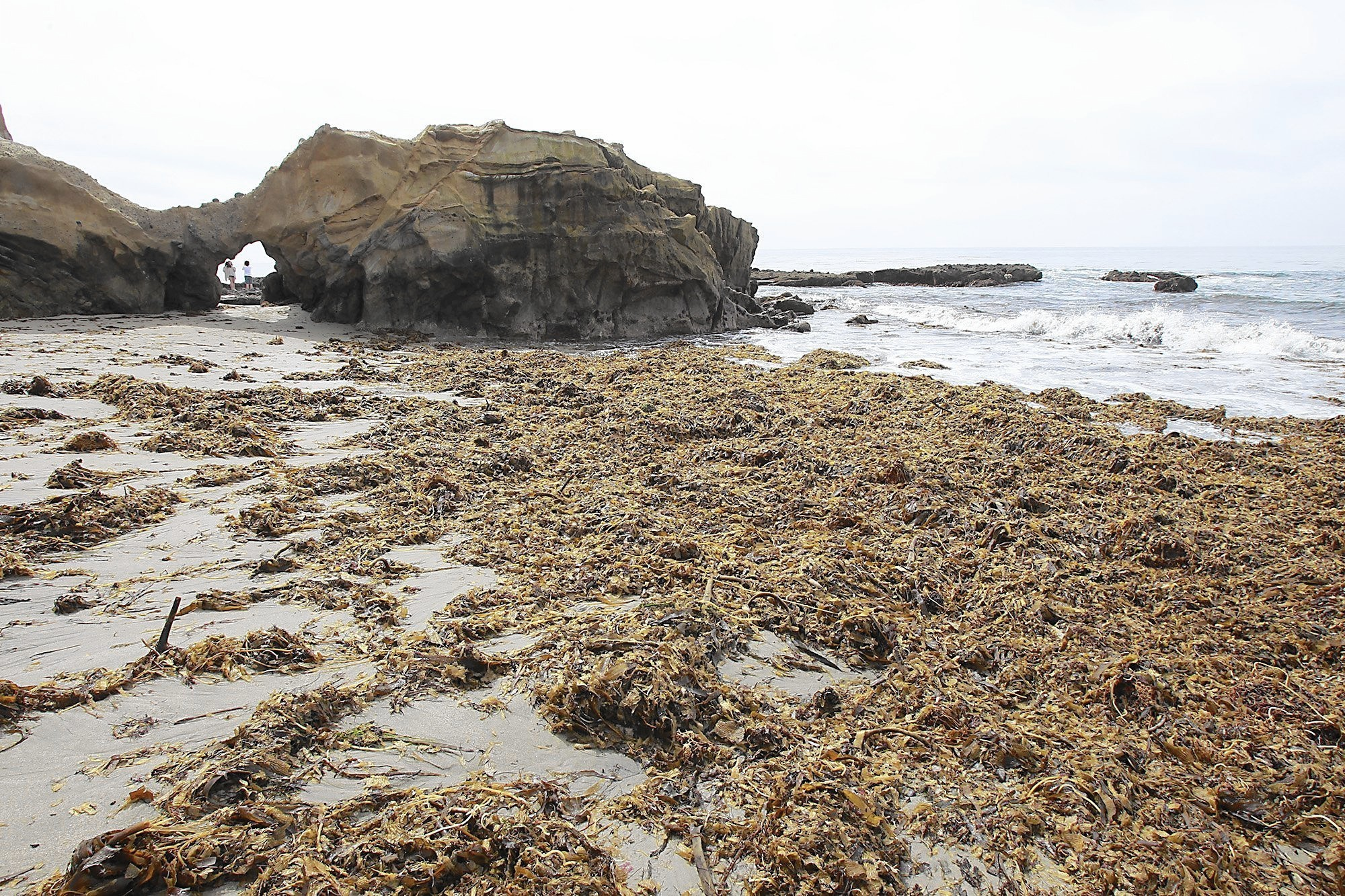 In Laguna Beach, kelp has arrived -- and it's raising a stink