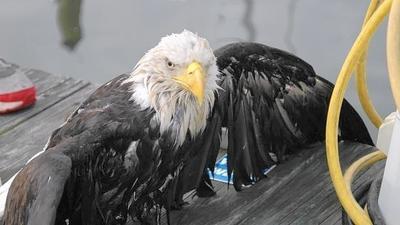 Bald eagle found in Pasadena was shot
