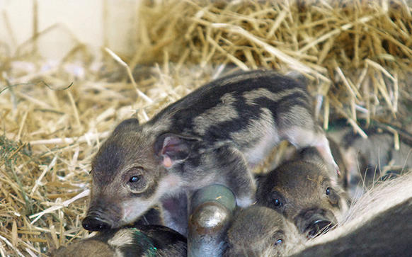 Four Mangalista piglets were born at the Lincoln Park Zoo Oct. 27.