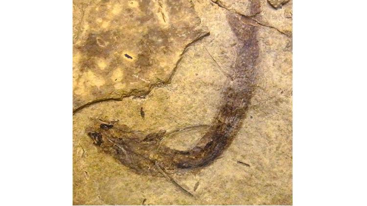 Fossil eye