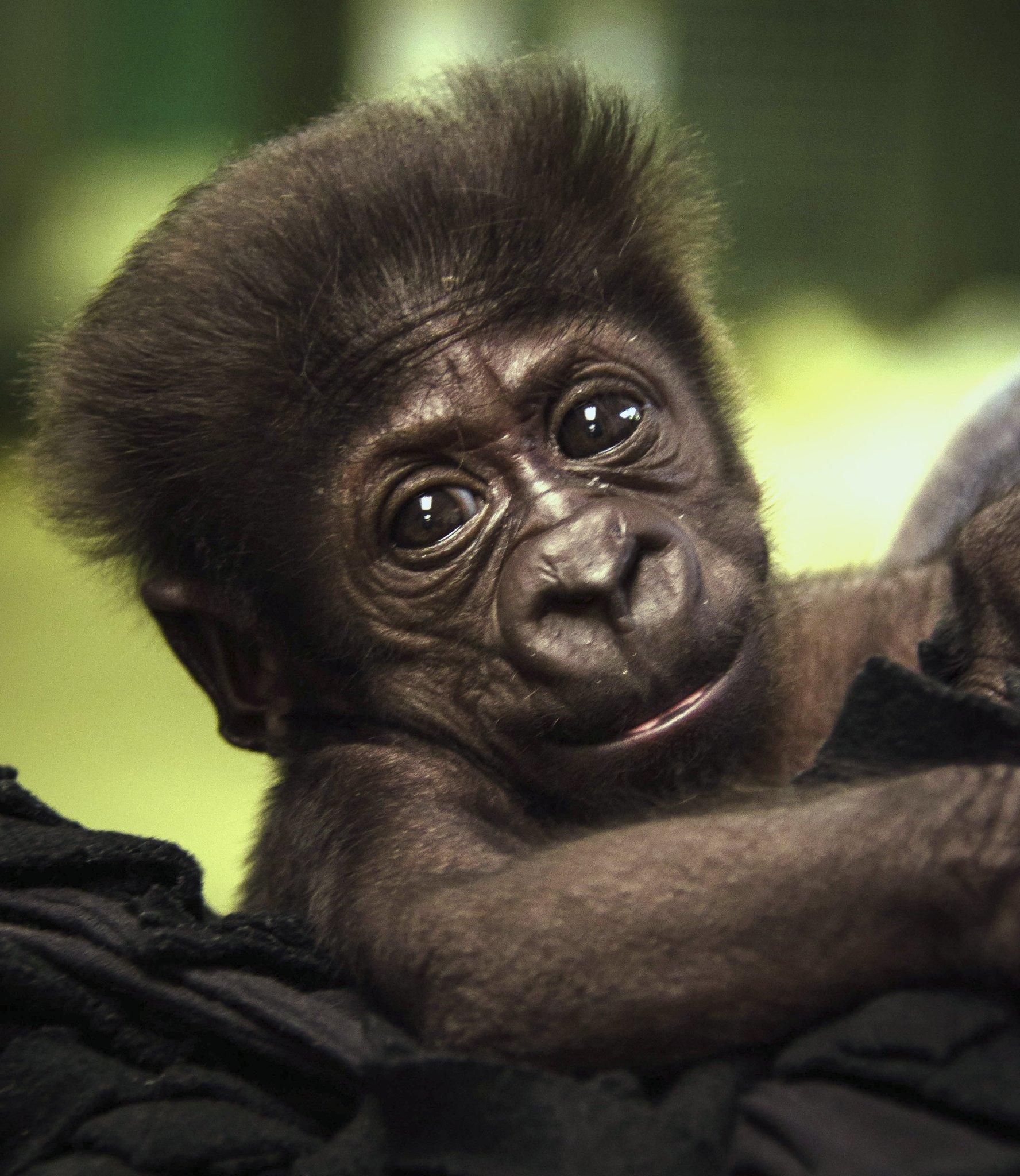 Ostracized baby gorilla will switch zoos chicago tribune