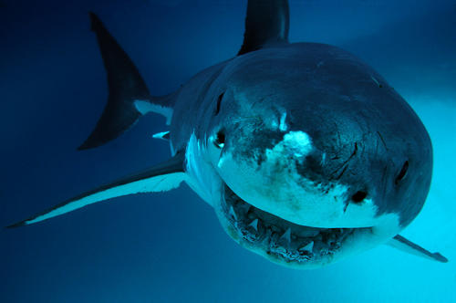 Though being attacked by a shark like this great white is extremely unlikely, the number of unprovoked shark attacks worldwide has grown at a steady pace since 1900. According to the Florida Museum of Natural History, there were 39 reported shark attacks in California from 2001 to 2013.