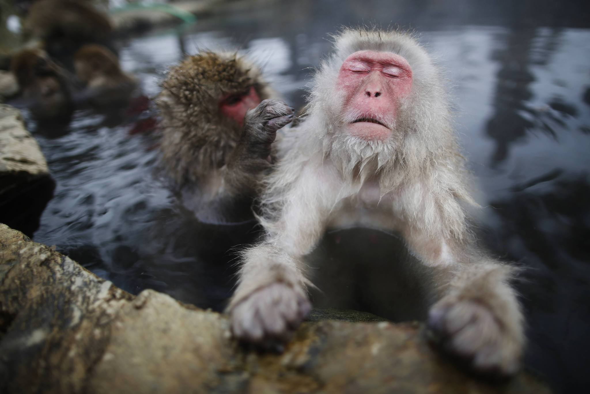 「snow monkey japan hot spring」の画像検索結果