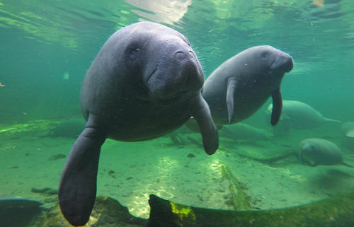 Manatees find refuge in the warm waters of Blue Spring located at Blue Spring State Park, Orange City, Florida.