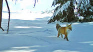 First confirmed sighting of rare fox at Yosemite in nearly 100 years