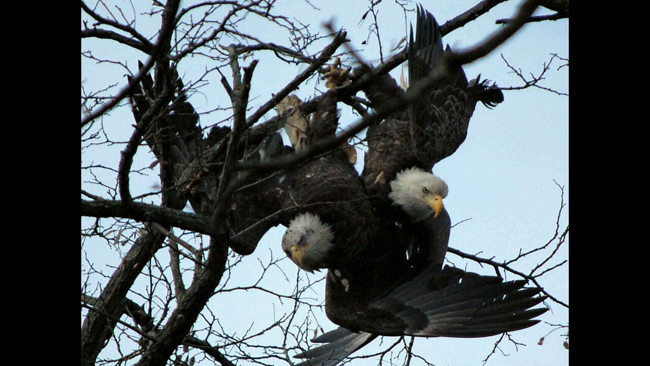 Bald eagles locked in an angry embrace baltimore sun biocorpaavc