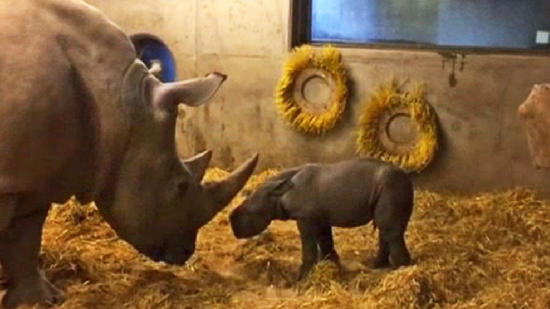 Witness the birth of a rhino at Copenhagen Zoo
