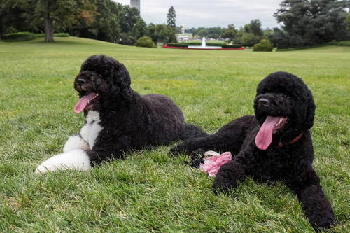 This official White House photograph shows Bo, left, and Sunny, the Obama family dogs, on the South Lawn of the White House on Aug. 19, 2013.
