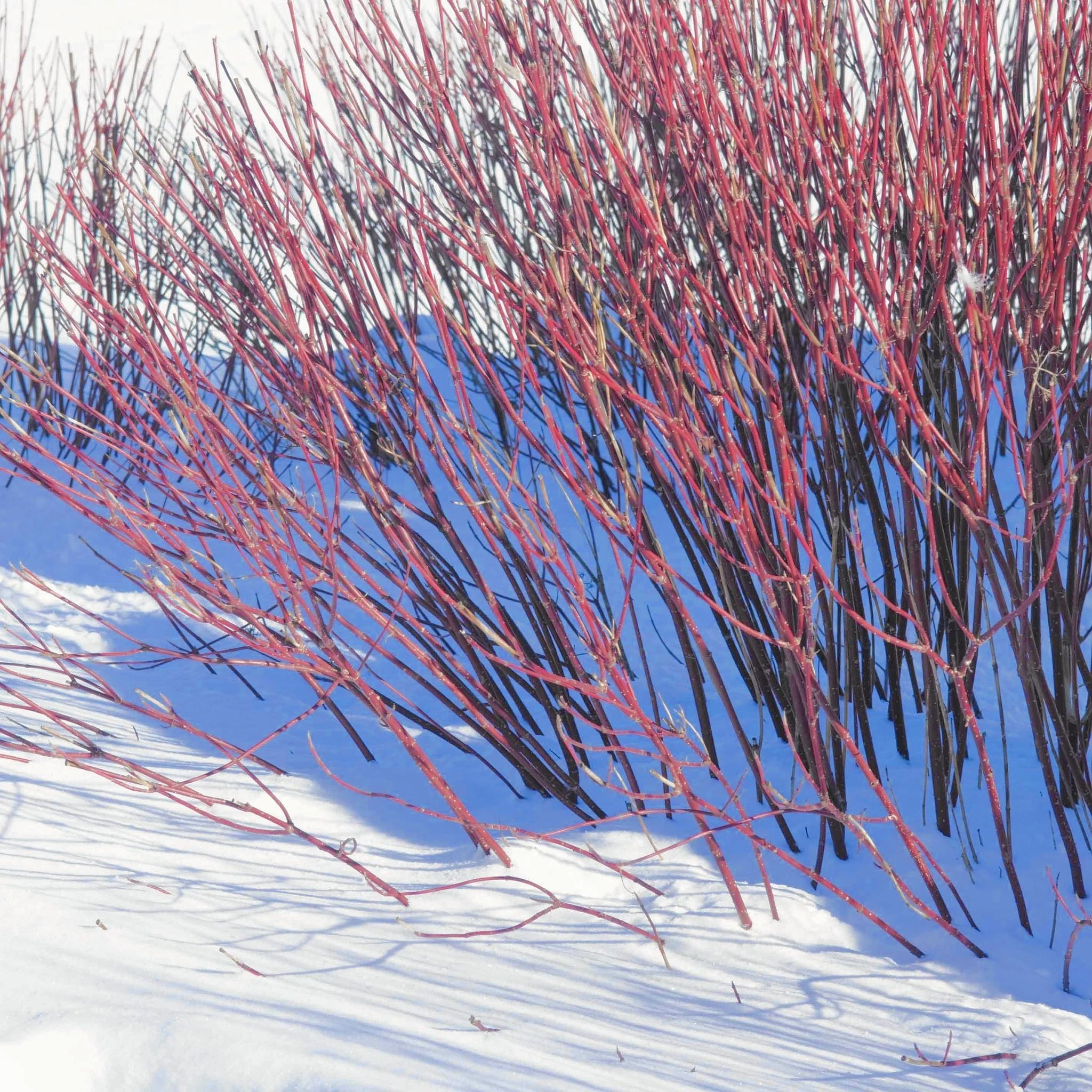 pruning is key to maintaining red twig dogwoods u0027 color chicago