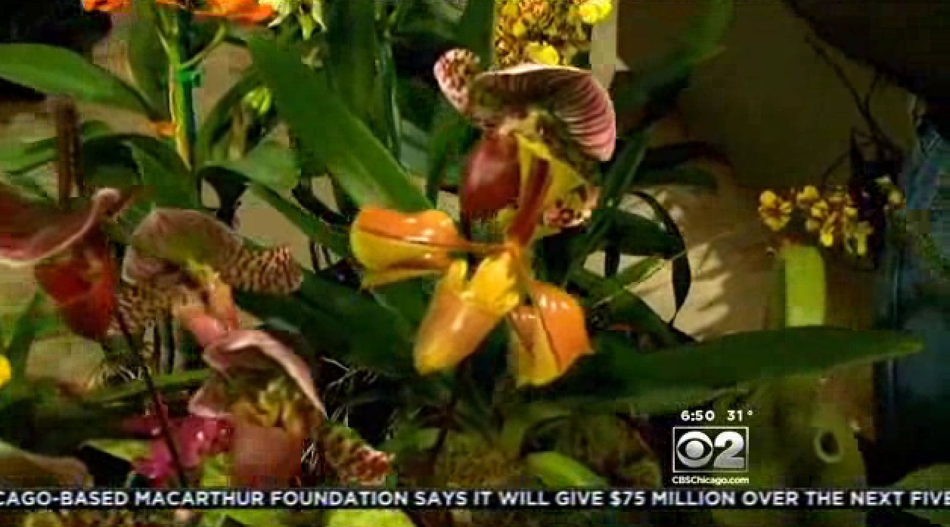 Sneak peek at Botanic Garden Orchid Show Chicago Tribune