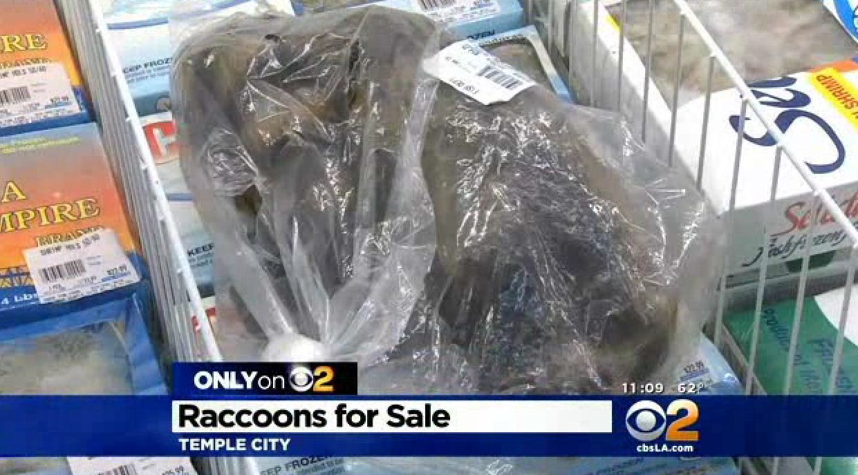 Raccoons Babies For Sale Raccoon Meat For Sale at L.a