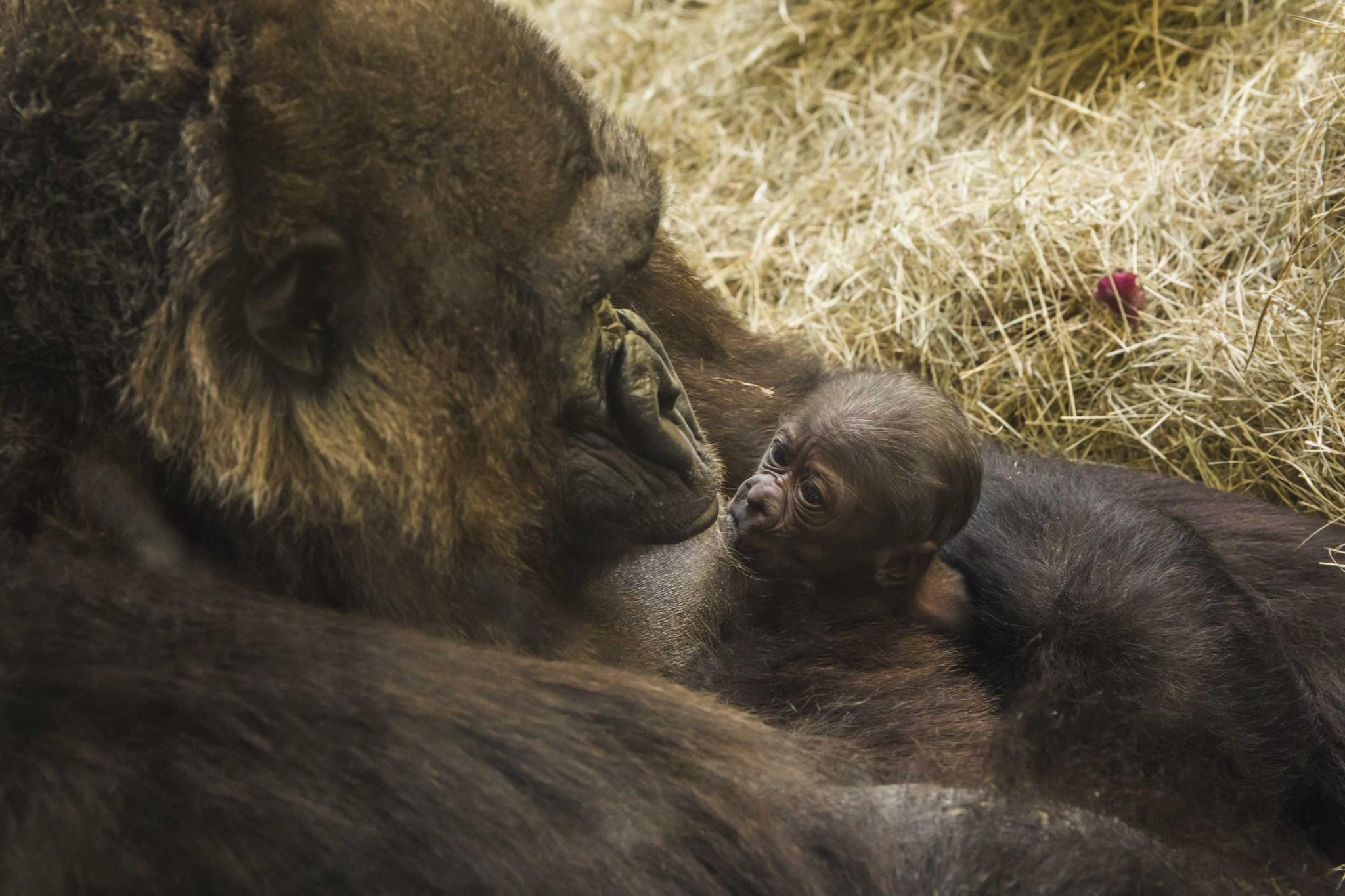 Busch Gardens: Park welcomes third baby gorilla - Orlando Sentinel