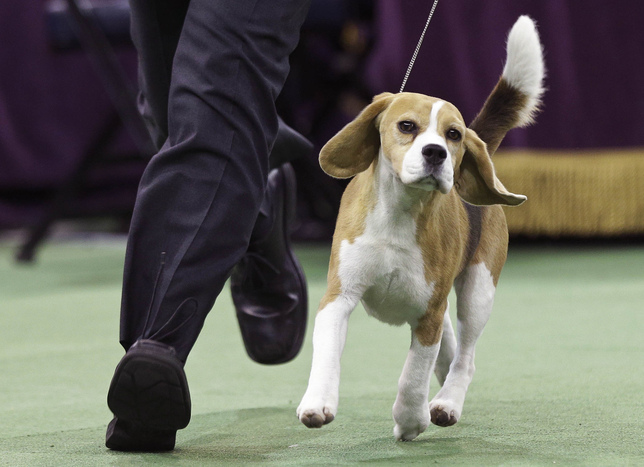 Miss p a beagle takes crown at westminster dog show la times