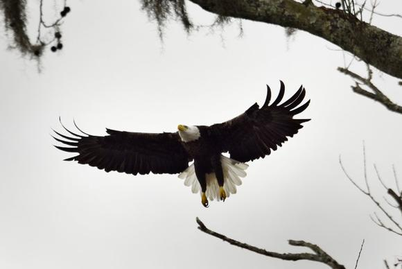 research papers about bald eagles Research essay sample on the bald eagle as an endangered species custom essay writing eagle bald species endangered.