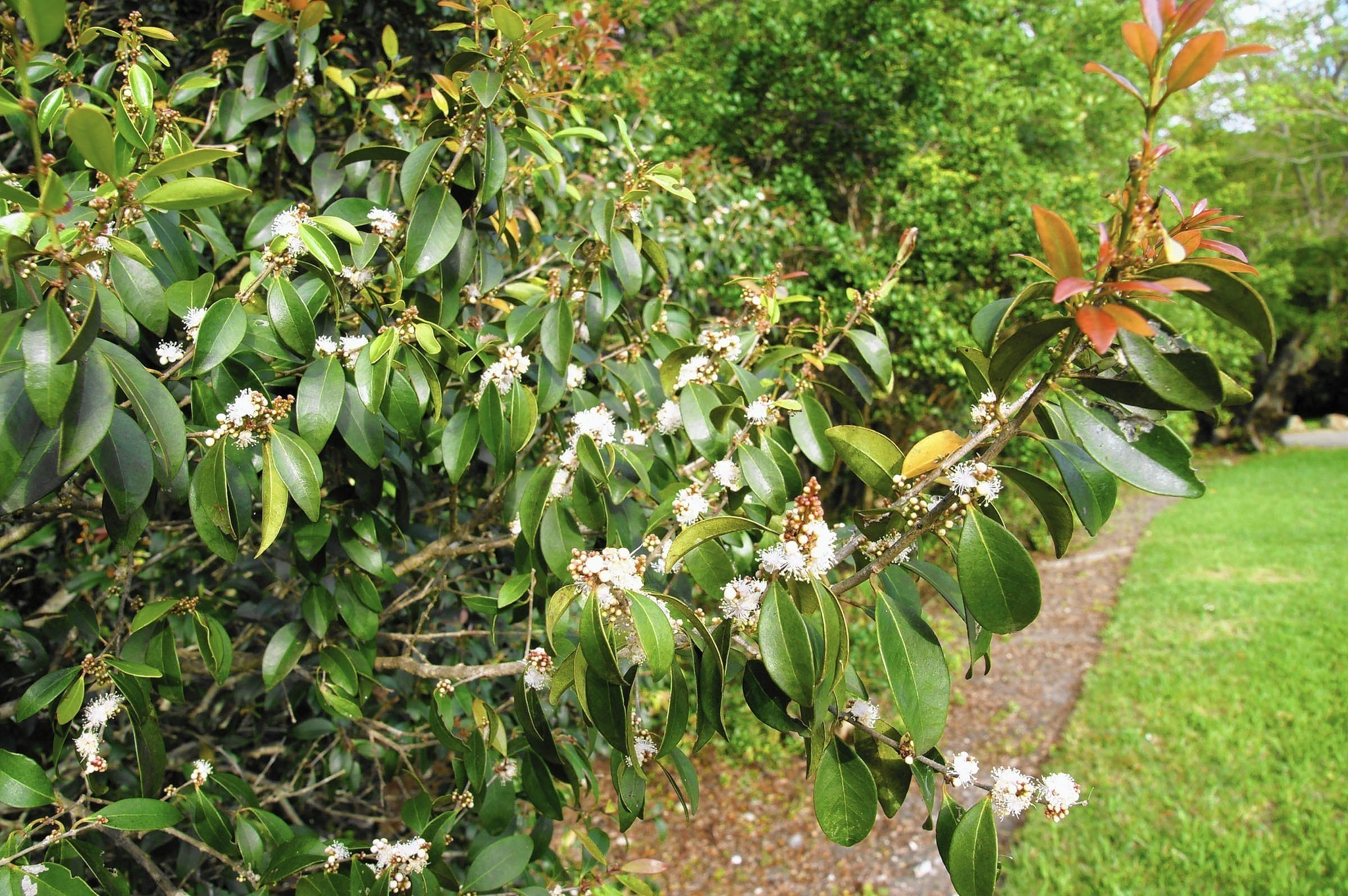 Fairchild 39 s tropical garden column small trees for small for Trees for small places