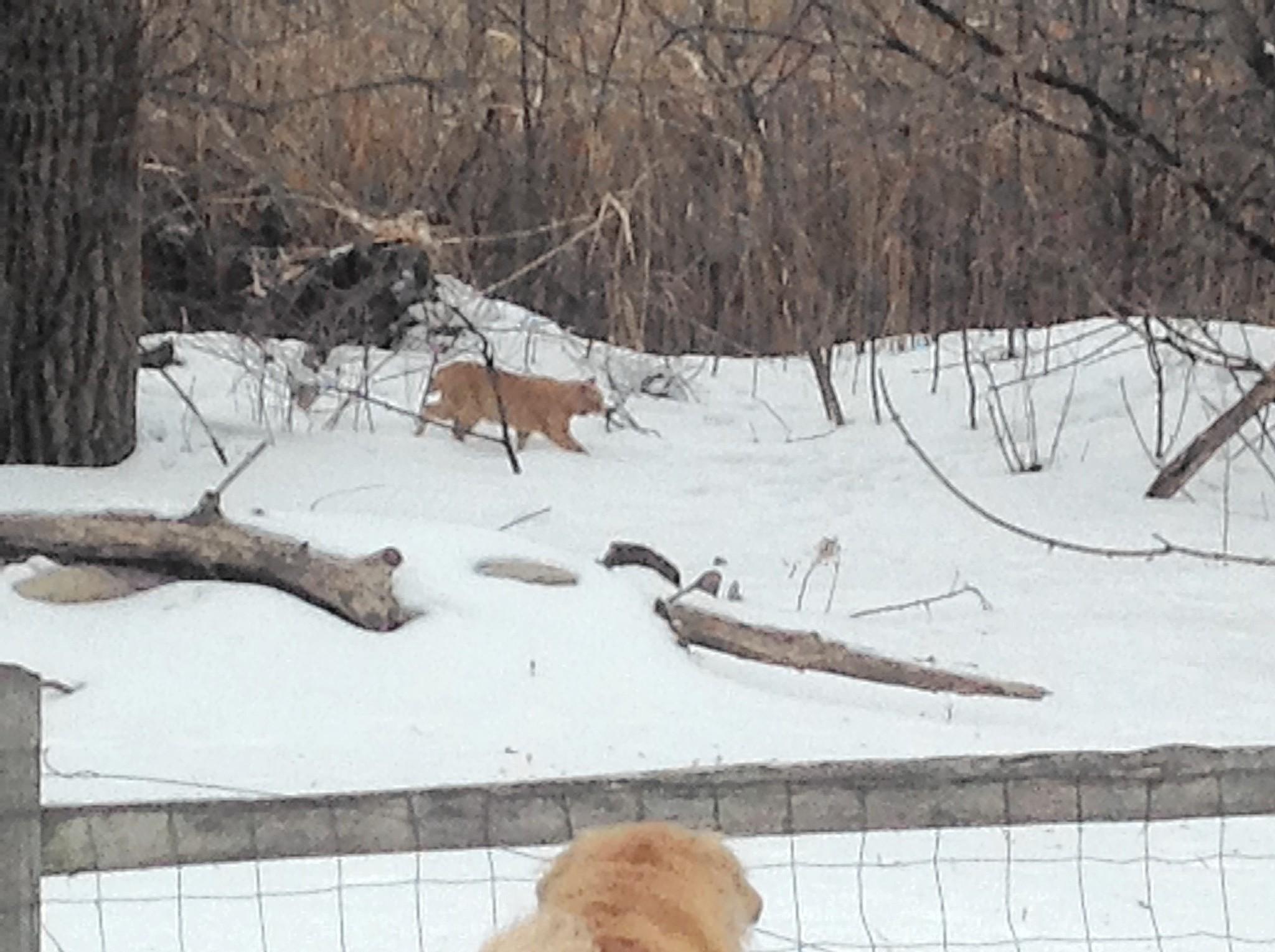 Illinois lake county wauconda - Bobcat Spotted In Wauconda Backyard Near Lake County Forest Preserve Lake County News Sun