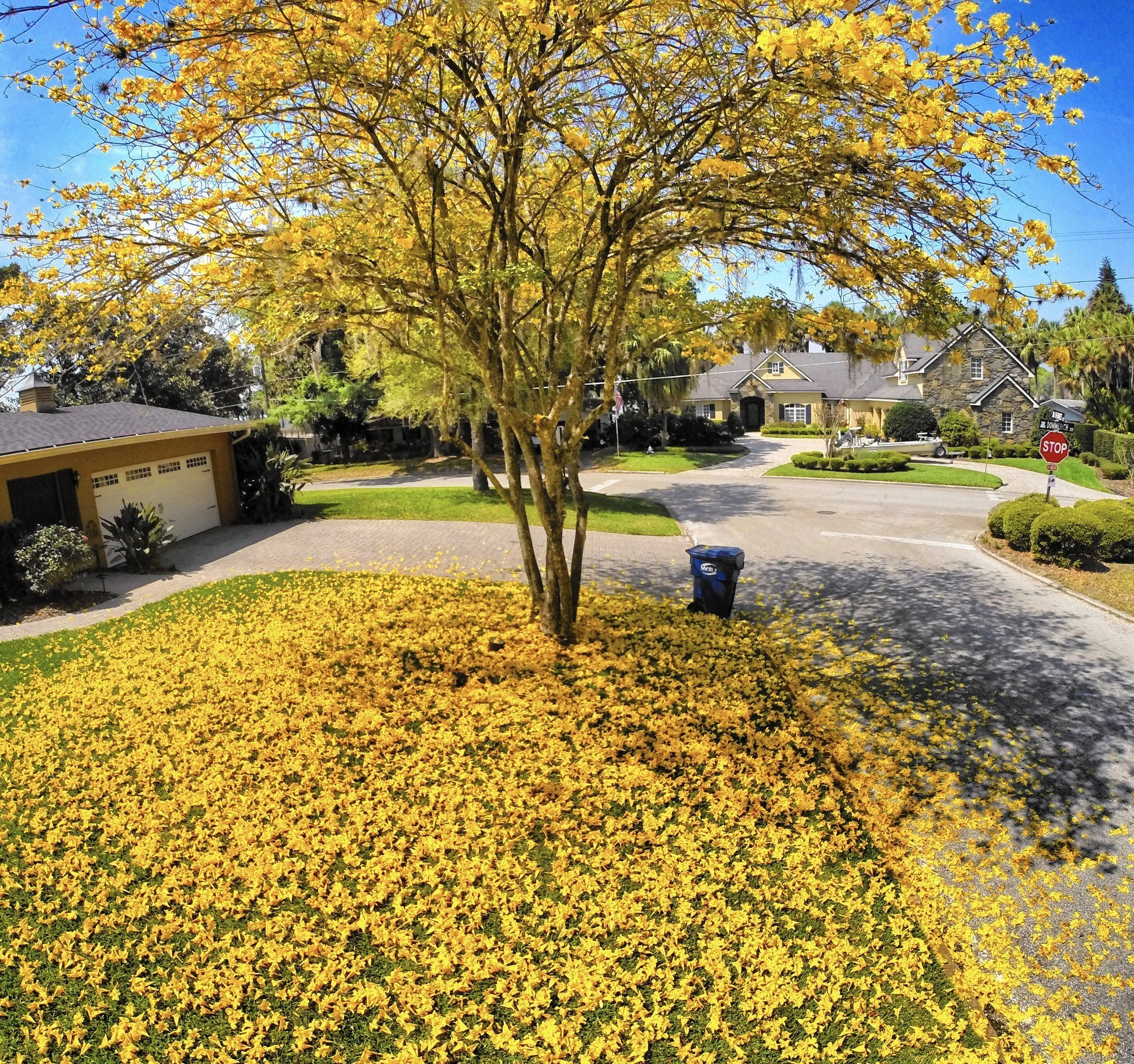 Tabebuias in central florida erupt in yellow blossoms orlando sentinel mightylinksfo Image collections