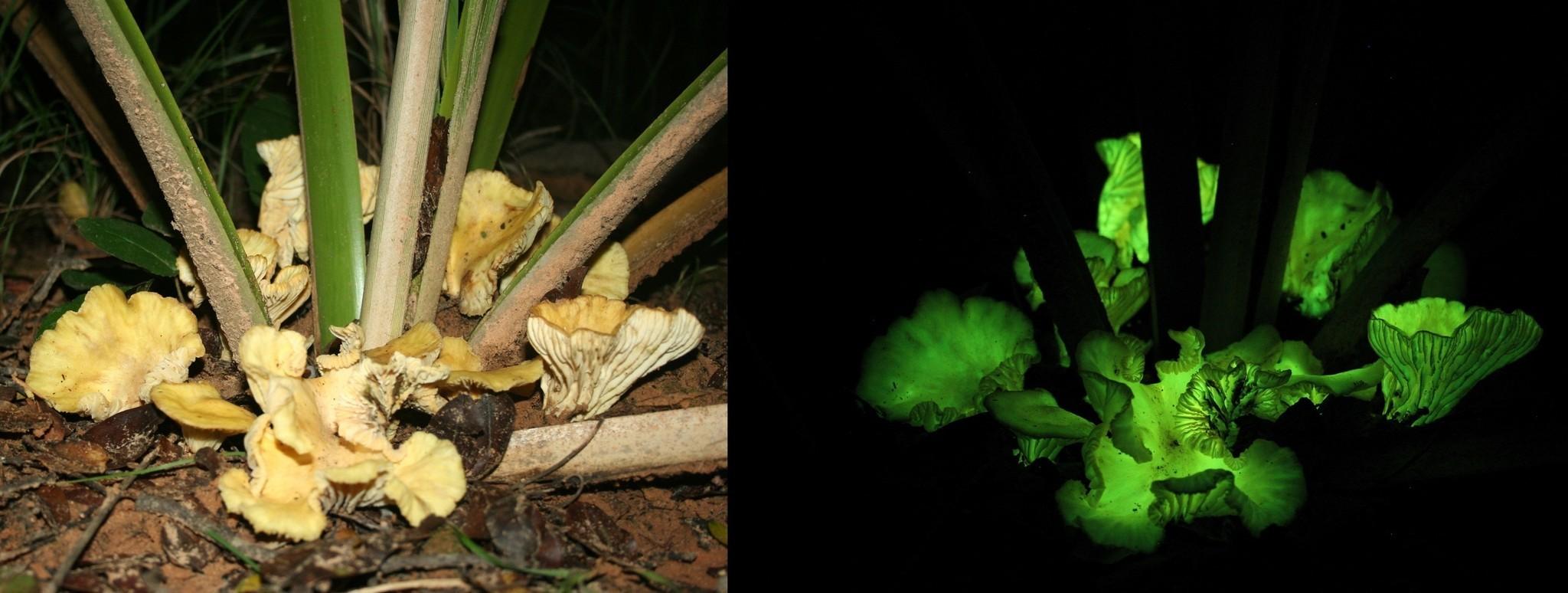 Mushroom glows in the dark like a fungal firefly