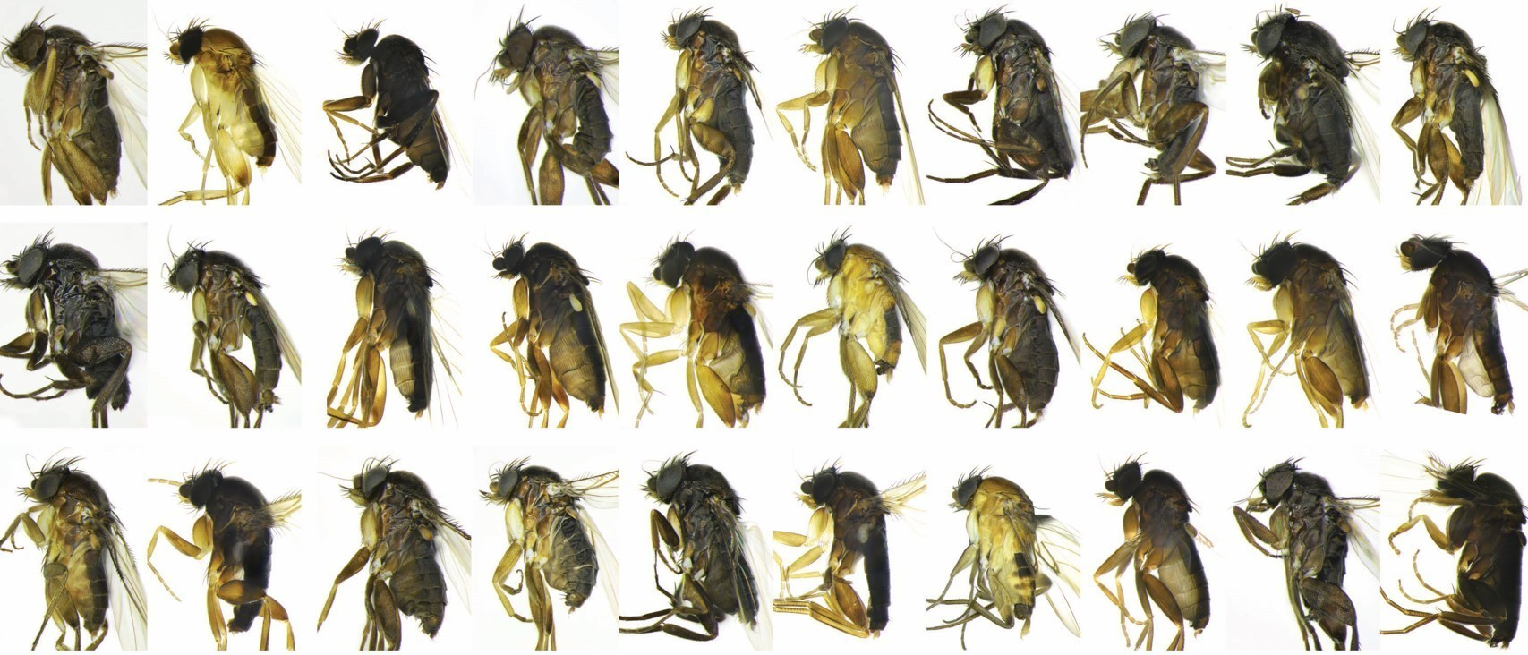 30 never-before-seen species of flies discovered in Los Angeles