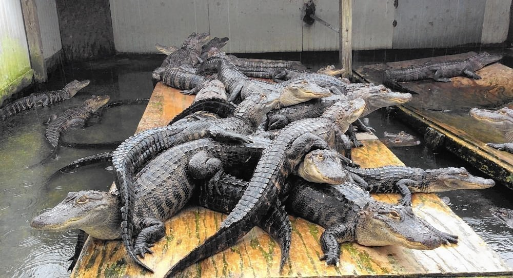 appetite for gator meat grows in florida sun sentinel. Black Bedroom Furniture Sets. Home Design Ideas