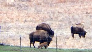 Baby bison is Illinois' first in nearly two centuries