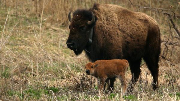 First wild bison