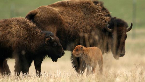Herd interaction