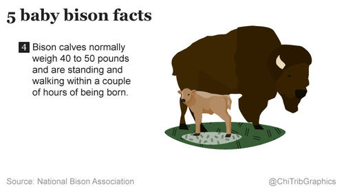 5 baby bison facts