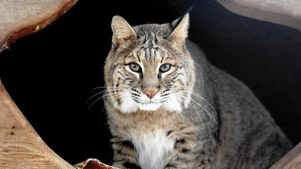 Bobcats in Illinois
