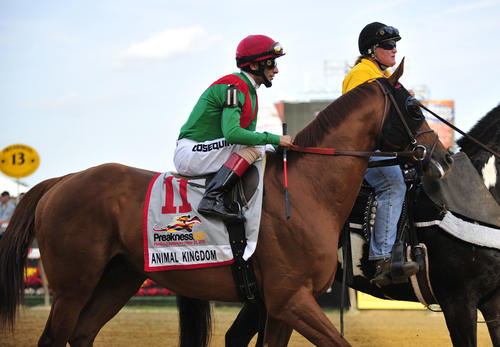 <p>Animal Kingdom makes his way onto the track prior to the running of the 136 Preakness race</p>